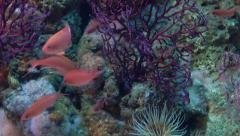 Aquarium of genoa, red damselfishes Stock Footage