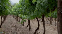 Wine Farm, Stellenbosch v05 Stock Footage
