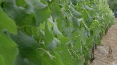 Wine Farm, Stellenbosch v02 Stock Footage