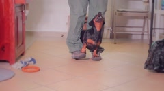 Puppy doing circus performance Stock Footage
