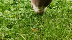 Addax Eating Grass Stock Footage