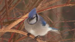 Blue Jay Bird Perched and eating Seed Stock Footage
