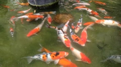 Koi, Fancy Carp are swimming in the pond Stock Footage