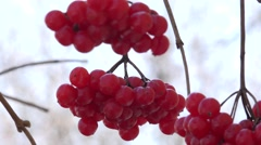 Viburnum Berries Closeup. Windy Motion. 4k Ultra HD Stock Footage