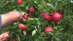Hands pick ripe royal gala apples - stock footage