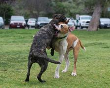 Wrestling puppies at the doggie park Stock Photos