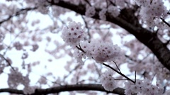 Pink cherry flowers blooming in springtime swinging in the wind. Stock Footage