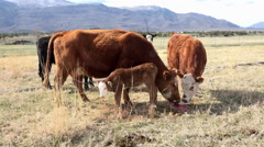 Calf mother cow eats after birth for nutriment 4K 003 Stock Footage