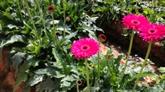 Daisy Gerbera at the plantation - stock footage