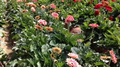 Daisy Gerbera at the plantation Stock Footage