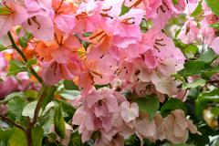 Bougainvillea spectabilis Stock Photos