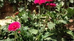 Stock Video Footage of Daisy Gerbera at the plantation