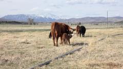 Cattle Herd farm walks away newborn calf 4K 011 Stock Footage