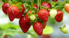 Strawberries hanging from plant Stock Footage