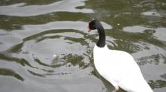 Cygnus melancoryphus. Beautiful black necked swan in a pond Stock Footage