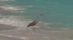Bird on Maldives island beach, vulnerable to environmental changes Stock Footage