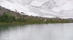 Cows graze with retreating Scandinavian glacier in background (climate change) Stock Footage