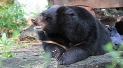 Black Bear Eating Leaves Stock Footage