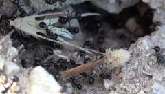 4K Macro Ants Working Gathering Food for Winter, Ant Hill, Workers Insects Hive Stock Footage