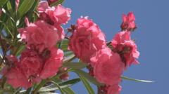 Oleanders Flowers on Mediterranean Beach, Sea, View Island, Lefkada Greece Stock Footage