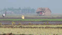 People plant rice at the rice field in Jessore, Bangladesh. Stock Footage
