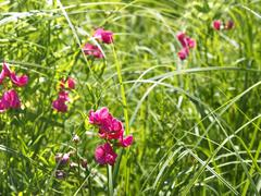Flowering tuberous pea among meadow grasses Stock Photos
