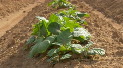 Agriculture Seedling  in the Field - stock footage