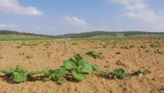 Agriculture    Field  Young plants Stock Footage