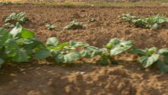 Agriculture  -  Field  Young plants Stock Footage