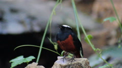 White-capped water redstart (Chaimarrornis leucocephalus) on the stone in nature Stock Footage