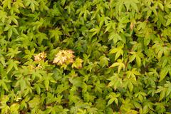 Acer leaves - stock photo