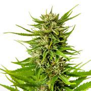 Marijuana bud isolated on white background Stock Photos