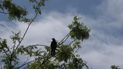 4k Crow Flying from Tree, Raven in Flight, Bird in Air, Summer Stock Footage