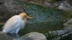 KL Bird Park - Cattle Egret  (Bubulcus Ibis) Wading In Pool Stock Footage