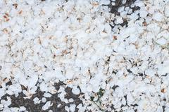Blooming apple tree petals on the ground Stock Photos