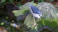 KL Bird Park - Black Crowned Night Heron Crossing Small Stream Stock Footage