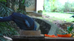 KL Bird Park - Crowned Pigeon (Goura) Feeding Stock Footage