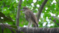 KL Bird Park - Juvenile Night Heron Perched On Tree Stock Footage