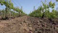 4K POV Walking in Vineyard, Agriculture in Village, Stepping in Harvest, Farming Stock Footage