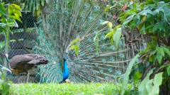 KL Bird Park - Indian Blue Peacock Peafowl Impressive Tail Display Stock Footage