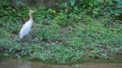 KL Bird Park - Cattle Egret  (Bubulcus Ibis) On Riverbank Stock Footage