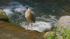 KL Bird Park - Black Crowned Night Heron  Stock Footage
