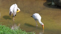 KL Bird Park - Yellow Billed Stork Foraging In Small River Stock Footage