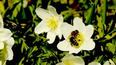 Anemone in springtime Stock Footage