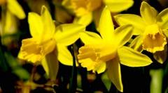 Wild daffodils, closeup of the easter flowers Stock Footage