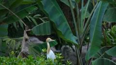 KL Bird Park - Cattle Egret  (Bubulcus Ibis) Stock Footage