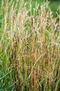 Wild Needle Grass, Nassella tenuissima pattern background - stock photo