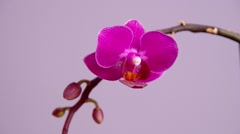Pink orchid flower Stock Footage