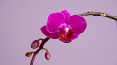 Pink orchid flower - stock footage