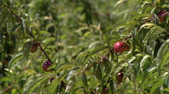 Nectarines in the tree  in southern Portugal Stock Footage